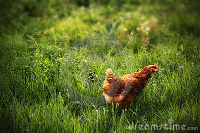 Chicken in grass