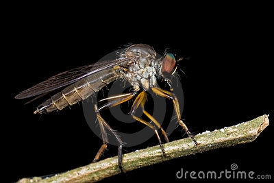 Side profile of a robberfly