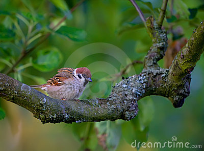 Beautiful baby garden sparrow