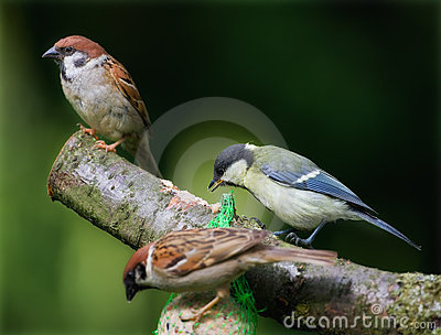 Sparrows and a great tit