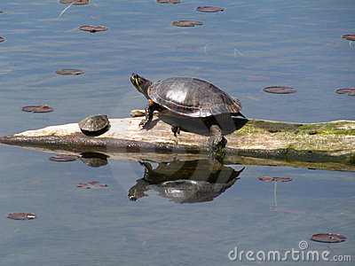 Turtle Basking with Baby