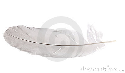 Pigeon feather isolated on white