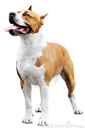 Staffordshire Bull Terrier over white