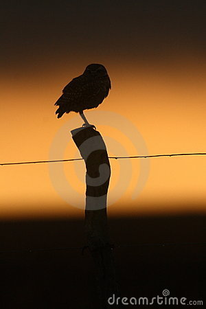 Burrowing owl at dusk