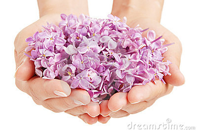 Lilac in the hands
