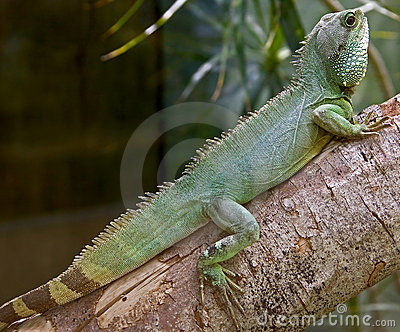 Chinese water dragon 6