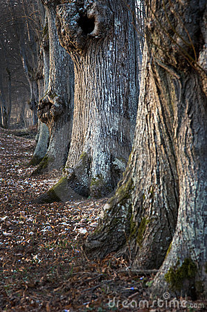 Old trees in a row