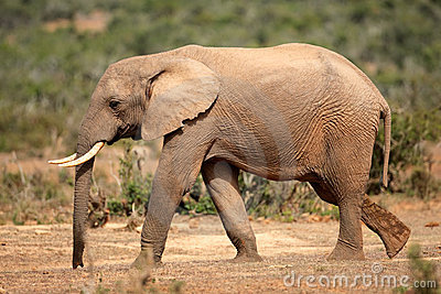 Elephant, South Africa