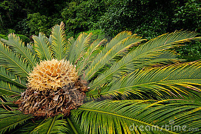 Chinese cycad, China