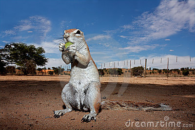 Ground squirrel, Kalahari, South Africa