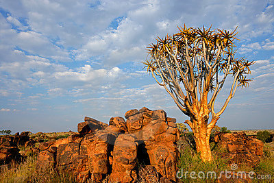 Quiver tree landscape, Namibia