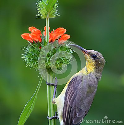 Olive - backed sunbird