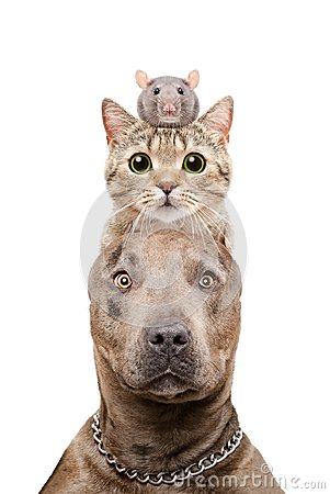 Funny portrait of a pit bull dog, cat and rat