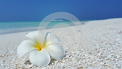 P01975 Maldives white sandy beach yellow flower on sunny tropical paradise island with aqua blue sky sea ocean 4k