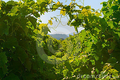 Background of green grape leaves