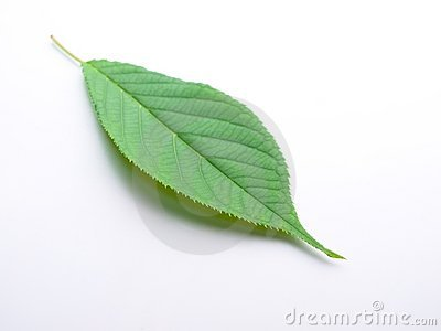 A young tree leaf on white back ground