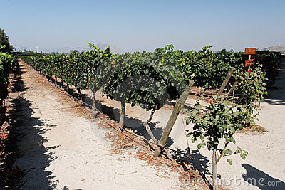 Vineyard in Santiago do Chile