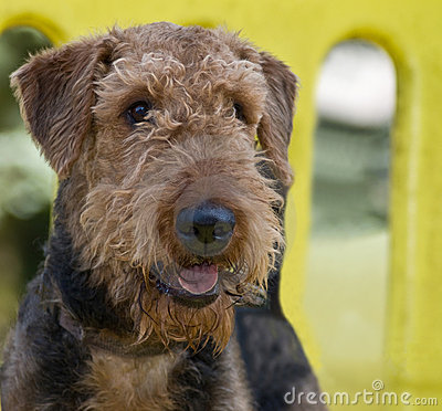 Airedale terrier dog at the park