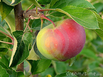 Growing apple