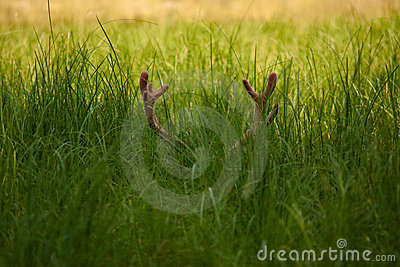 Horns in the grass