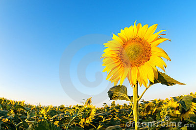 Beautiful sunflowers farm on the sunny summer day