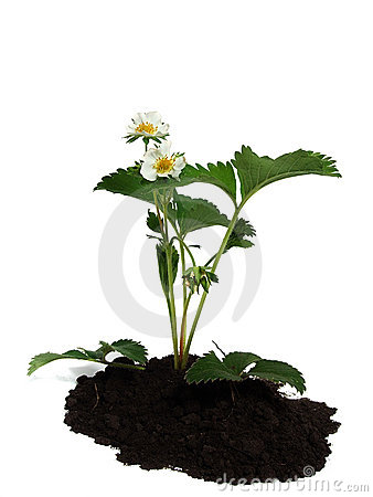 Strawberry plant over white