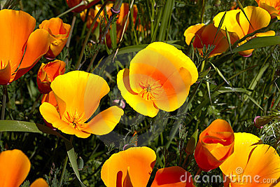 California poppy,eschscholzia californica