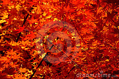 Autumn leaves make a wash of red