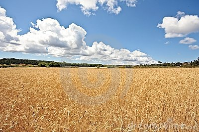 Wheat field in Portugal