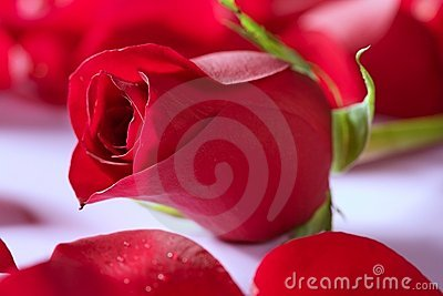 Beautiful rose flower over red petals