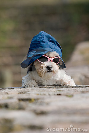 Little dog with hat and sunglasses on