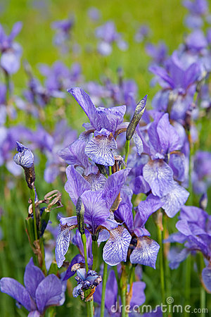 Closeup of iris plant