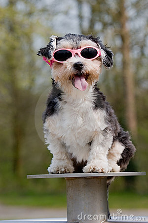 Little boomer dog wearing sunglasses