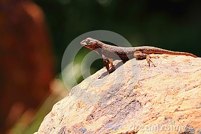 Common Sagebrush Lizard - Sceloporus graciosus - on Rock, Zion National Park, Utah