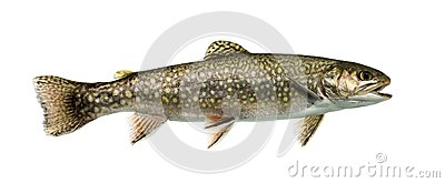 Brook trout swimming, isolated