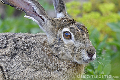 Black-tailed jackrabbit, lepus californicus