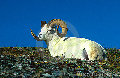 Bedded Dall Sheep Ram