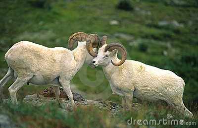 Dall Sheep Rams Displaying