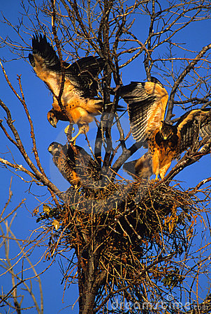 Swainson's Hawk Fledgelings in Nest