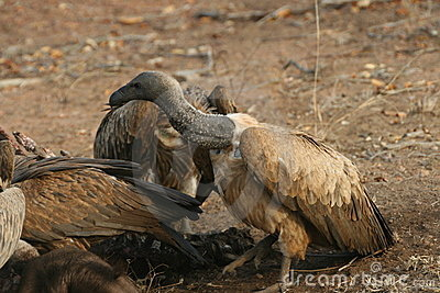 Vultures after the kill