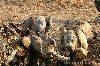 Vultures after a buffalo kill