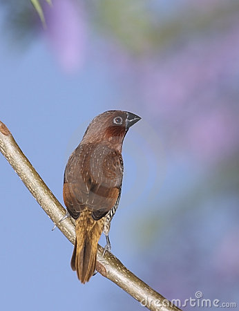 Spice Finch