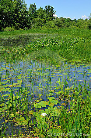 Water lily swamp