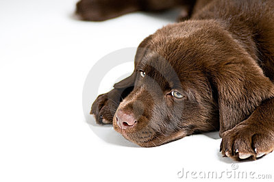 Bored Labrador Retriever puppy