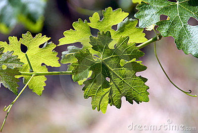 Green Grape Vines and Leaves