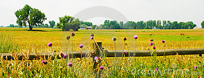 Thistles, Fence and Field