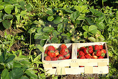 Organic strawberries on field