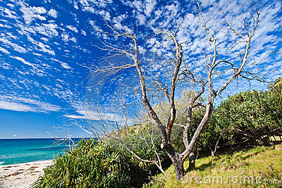 Old tree on Cabarita beach
