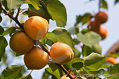 Several apricots on a branch