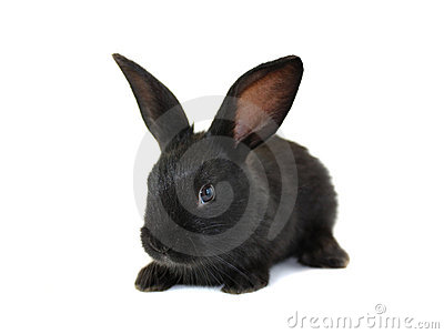 Black, small rabbit
